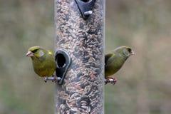 Coppie i clori dei clori di Greenfinches su un alimentatore Immagini Stock