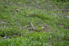 Coppie i cuccioli della marmotta muniti il nero a gioco immagine stock libera da diritti
