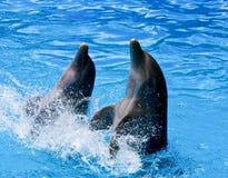 Coppie i delfini Fotografia Stock