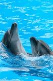 Coppie i delfini che ballano in acqua blu-chiaro immagini stock
