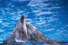 Coppie i delfini che nuotano nell'acqua blu Immagine Stock Libera da Diritti