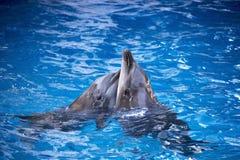 Coppie i delfini che nuotano nell'acqua blu Fotografia Stock Libera da Diritti