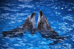 Coppie i delfini che nuotano nell'acqua blu Immagine Stock