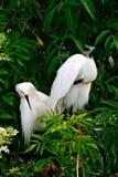 Coppie i Egrets di Snowy Fotografia Stock