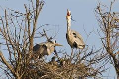 Coppie i egrets in nido immagine stock
