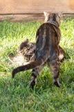 Coppie i gatti domestici, una che prende in giro l'altra con il destinatario che ringhia nell'irritazione verso il suo compagno immagini stock