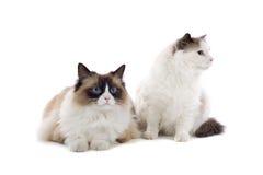 Coppie i gatti svegli Fotografia Stock