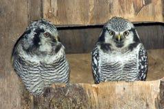 Coppie i gufi di falco nordici Fotografia Stock Libera da Diritti
