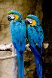 Coppie i Macaws dell'oro e dell'azzurro Fotografia Stock