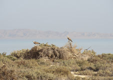 Coppie i Ospreys appollaiati in cespugli Immagini Stock Libere da Diritti