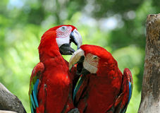Coppie i pappagalli Fotografie Stock