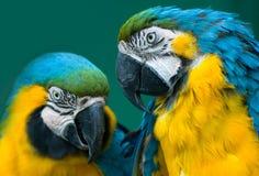 Coppie i pappagalli Fotografia Stock