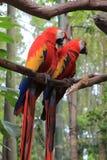 Coppie i pappagalli rossi dell'ara Fotografie Stock Libere da Diritti