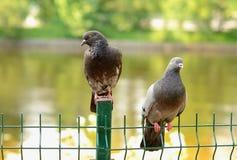 Coppie i piccioni Immagine Stock