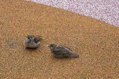 Coppie i piccoli passeri Fotografia Stock
