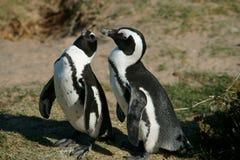 Coppie i pinguini Fotografia Stock