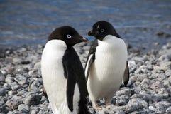 Coppie i pinguini del adelie sulla spiaggia immagine stock