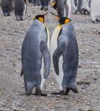 Coppie i pinguini di re adulti che realizzano i movimenti accoppiamento Immagine Stock Libera da Diritti