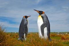 Coppie i pinguini Pinguini di re accoppiamento con fondo verde in Falkland Islands Coppie i pinguini, amore nella natura Bello Fotografia Stock