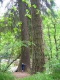 Coppie i pini giganti, fiume di Findhorn, Scozia, Regno Unito fotografia stock libera da diritti