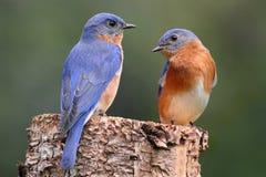 Coppie il Bluebird orientale Fotografia Stock Libera da Diritti