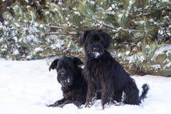 Coppie il cane dello schnauzer su neve Fotografia Stock Libera da Diritti