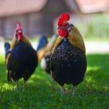 Coppie il gallo delle galline del pollo immagini stock