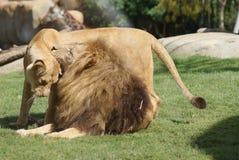 Coppie il leone del Katanga - bleyenbergh di Leo della panthera Immagine Stock Libera da Diritti
