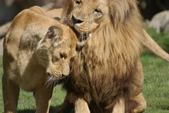 Coppie il leone del Katanga - bleyenbergh di Leo della panthera Fotografia Stock