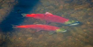Coppie il salmone rosso fotografia stock