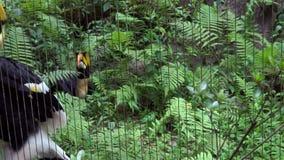coppie 4K di grande bucero indiano nella cattività dietro le barre di metallo dello zoo video d archivio
