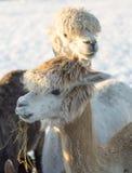 Coppie l'alpaca bianca Fotografia Stock