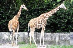 Coppie la giraffa Immagini Stock Libere da Diritti