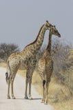 Coppie la giraffa su ghiaia Roa, parco nazionale di Etosha, Namibia Fotografia Stock Libera da Diritti