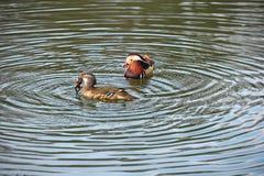 Coppie le anatre di mandarino. La femmina ha catturato una rana Fotografie Stock
