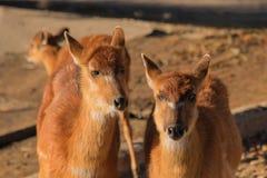 Coppie le antilopi marroni nella sabbia fotografia stock