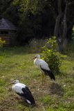 Coppie le cicogne bianche su erba verde Immagine Stock