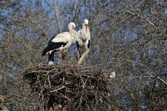 Coppie le cicogne bianche sul loro nido. Fotografia Stock Libera da Diritti