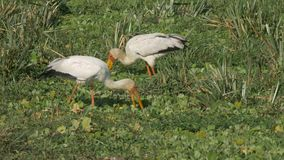 Coppie le cicogne fatturate gialle che si alimentano nella riserva di caccia di Mara dei masai stock footage