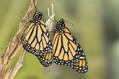 Coppie le farfalle di monarca fotografie stock libere da diritti