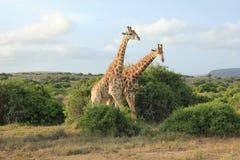 Coppie le giraffe Fotografia Stock