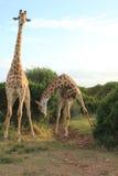 Coppie le giraffe - curvatura 2 Immagine Stock