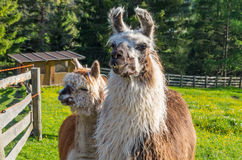 Coppie le lame nelle montagne, Tirolo del sud, Italia Fotografia Stock Libera da Diritti