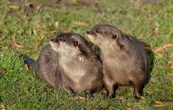 Coppie le lontre Breve-artigliate Fotografia Stock Libera da Diritti