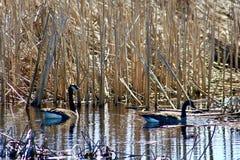 Coppie le oche del Canada che galleggiano sull'acqua in regione paludosa Immagine Stock