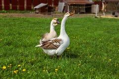 Coppie le oche domestiche su un'azienda agricola fotografia stock libera da diritti