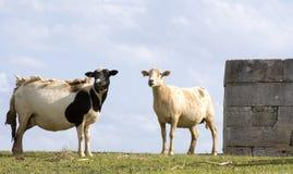 Coppie le pecore immagine stock