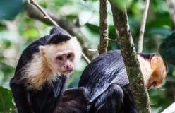 Coppie le scimmie affrontate bianche Immagine Stock