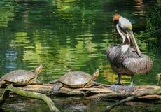 Coppie le tartarughe e un pellicano Fotografia Stock