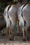 Coppie le zebre con il lato posteriore o le estremità alla macchina fotografica Immagine Stock Libera da Diritti